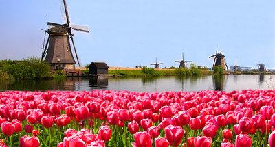 Windmills in the tulip fields