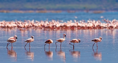 Flamingos strutting their stuff in the Camargue