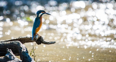 A kingfisher catching fish in the river