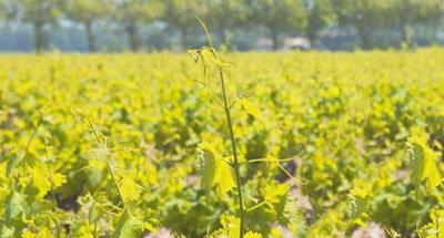 Vines in Burgundian vineyard