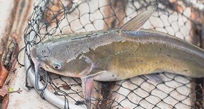 Catfish in a net