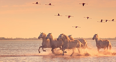 Wildhorse and pink flamingos at sunset