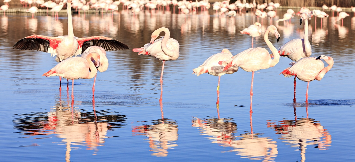 Pink flamingos in the Camargue