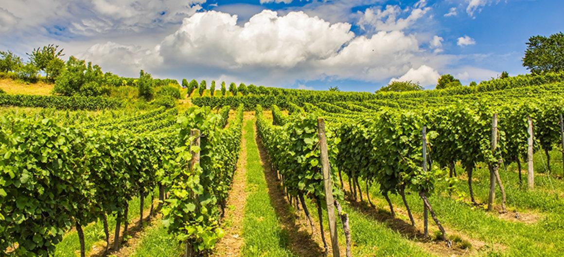 Traditional vineyards in Sancerre